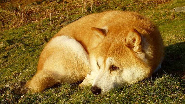 This Disease Affects 80% of Shiba Inus. Is Your Pup Silently Suffering?