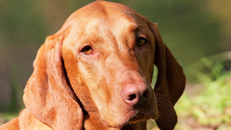 This Disease Affects 80% of Vizslas. Is Your Pup Silently Suffering?