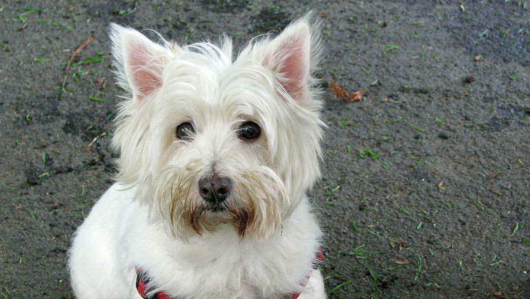 This Disease Affects 80% of Westies. Is Your Pup Silently Suffering?