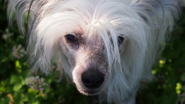 chinese-crested-dog-752684_640