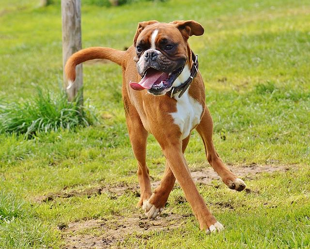 3 Signs Your Boxer Needs More Exercise – iHeartDogs.com