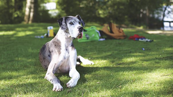 cf93ff02 From The Vet: 3 Things Every Great Dane Owner Should Know About