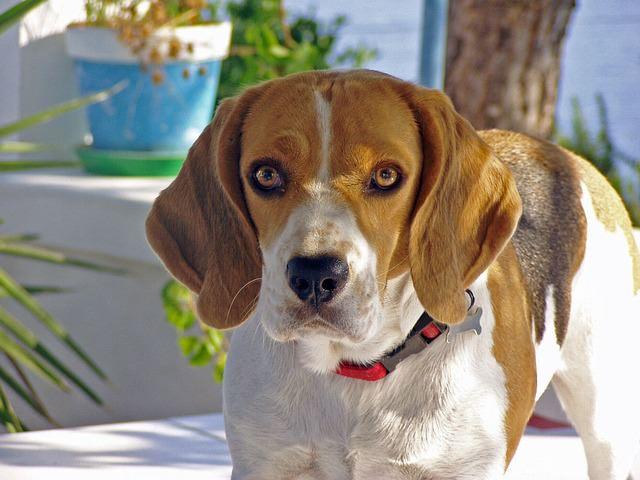 beagle-1815414_640