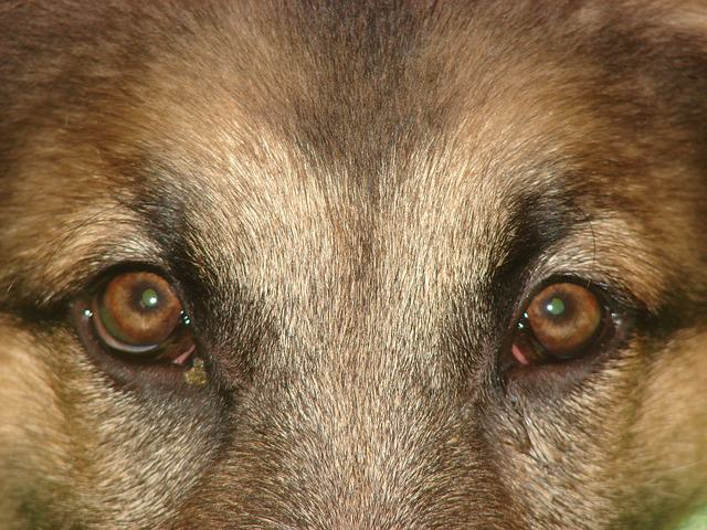 This Genetic Condition Could Affect Your German Shepherd S