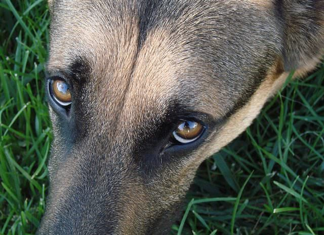 This Genetic Condition Could Affect Your German Shepherd S Beautiful