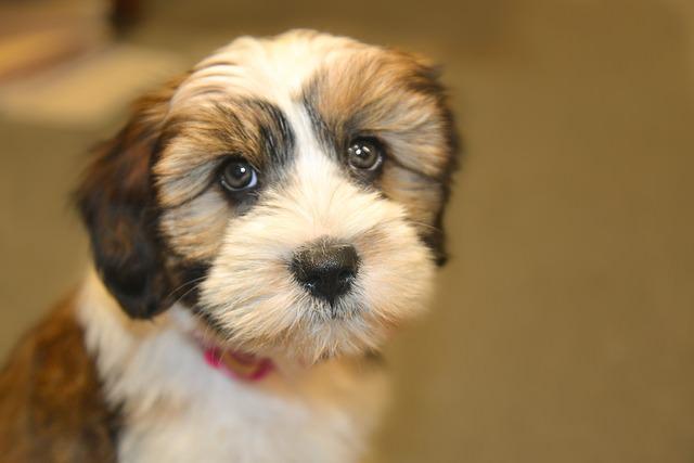 tibet-terrier-1597057_640