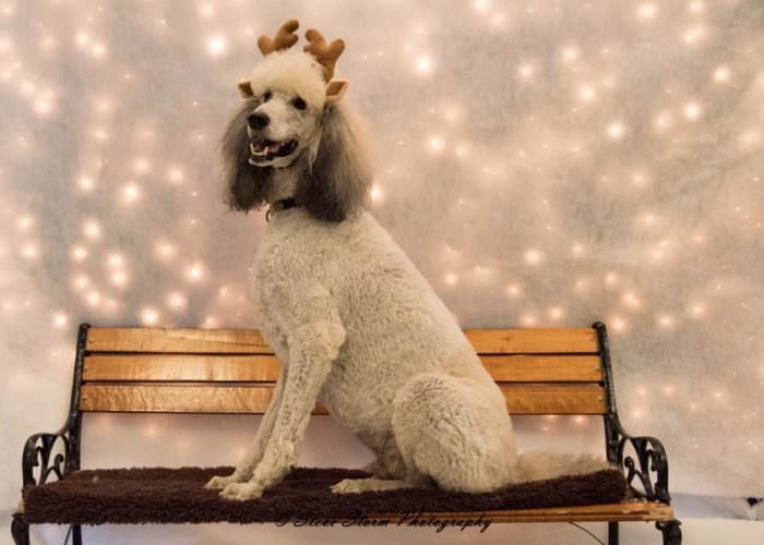 Beyond shaved feet popular poodle cuts iheartdogs image source debra whitten via facebook winobraniefo Image collections