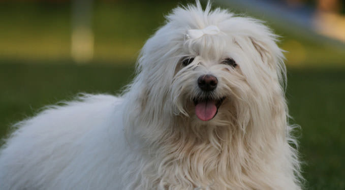 Improve Your Havanese's Skin & Coat With This One Simple Hack