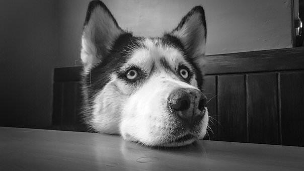 husky-face