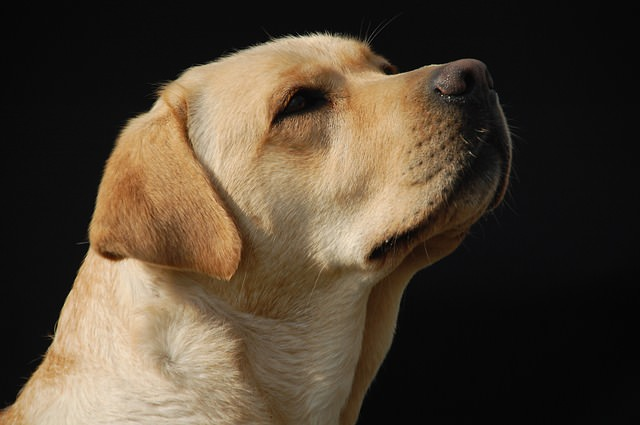 3 Tips For Cleaning Your Labrador Retriever S Ears