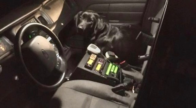 Lost Dog Sneaks Into Police Cruiser & Gets A Ride Home
