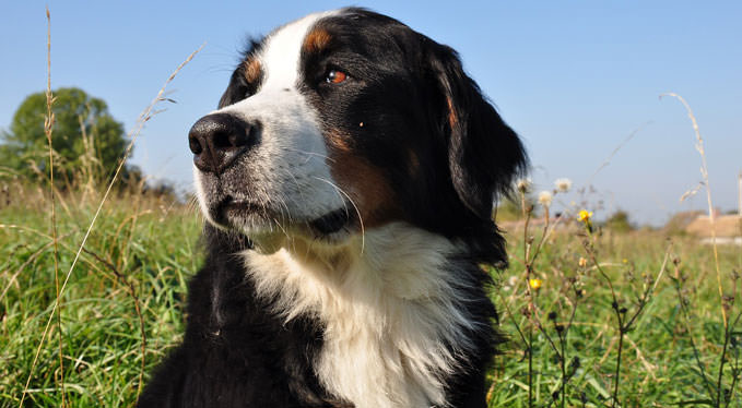 Improve Your Bernese Mountain Dogs Skin Coat With This