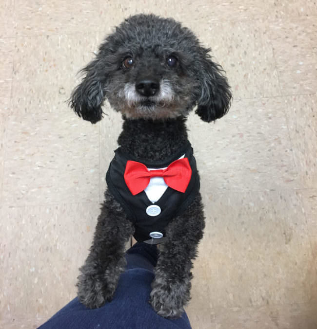 Homeless Senior Poodle Becomes The Perfect Resident Canine At ... on