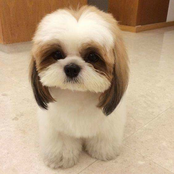 shih tzu face cut beyond the puppy cut shih tzu hair styles 8381