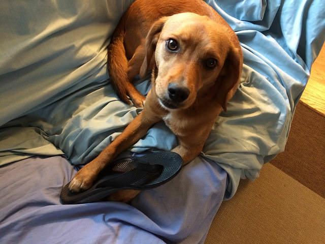 e5c3a2c7369 Ask A Vet  Why Does My Dog Chew My Shoes