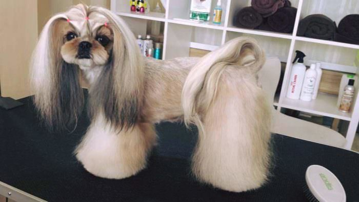 Beyond The Puppy Cut Shih Tzu Hair Styles Iheartdogs Com