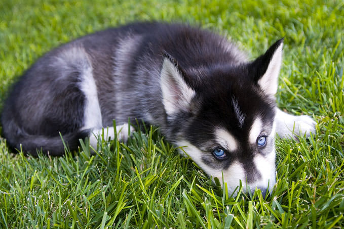 Giving This To Your Alaskan Malamute Daily Could Help Alleviate Painful Skin Allergies