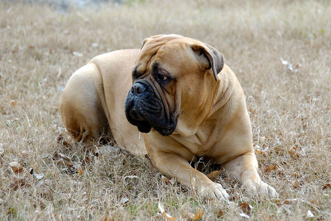 Giving This To Your Bullmastiff Daily Could Help Alleviate Painful Skin Allergies