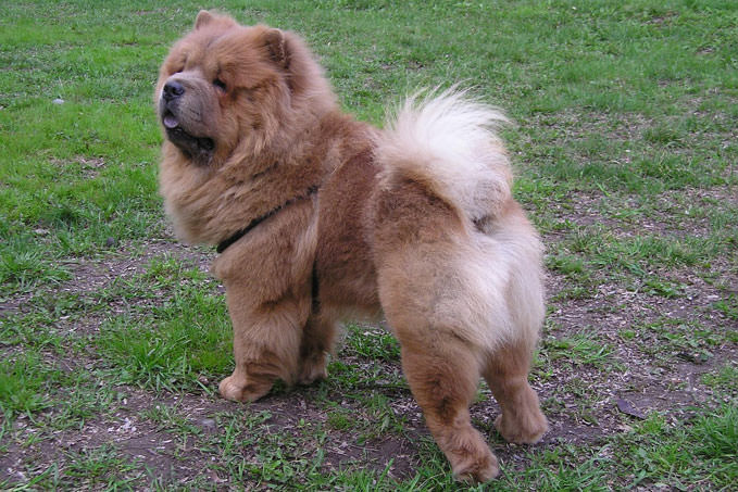 Giving This To Your Chow Chow Daily Could Help Alleviate Painful Skin Allergies