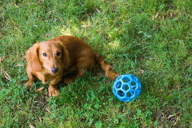 Resultado de imagen para dachshund fetch
