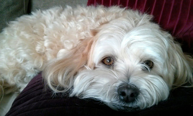 3 Amazing Ways To Honor A Havanese Who Passed Away