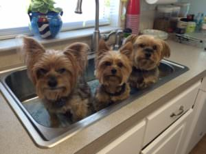 10 Things Only Small Dog Lovers Will Understand PET-icure Pet Grooming & Supplies Pepperell Massachusetts 01463