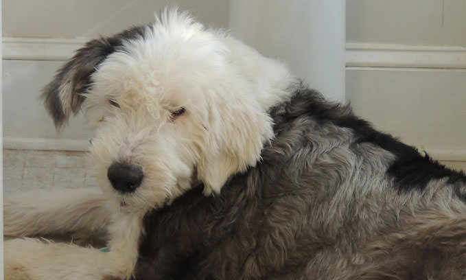 3 Amazing Ways To Honor An Old English Sheepdog Who Passed Away
