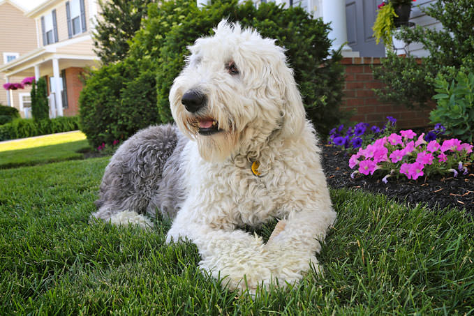 Giving This To Your Old English Sheepdog Daily Could Help Alleviate Painful Skin Allergies