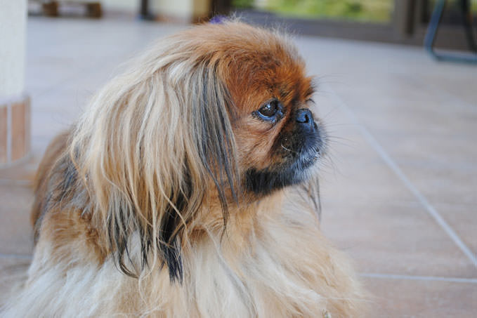 Giving This To Your Pekingese Daily Could Help Alleviate Painful Skin Allergies