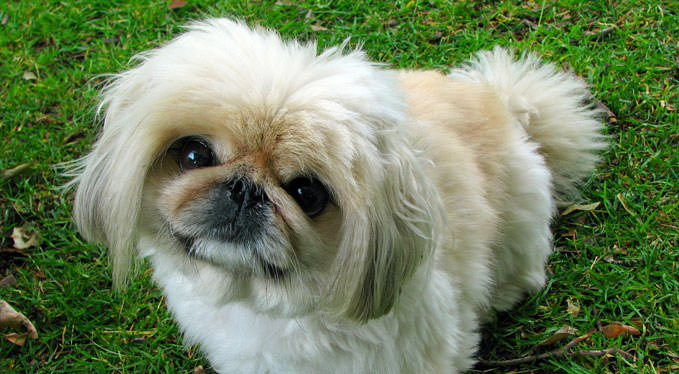 Improve Your Pekingese's Skin & Coat With This One Simple Hack