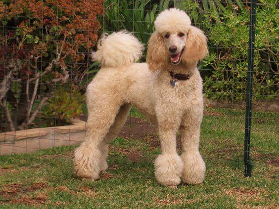 Beyond Shaved Feet Popular Poodle Cuts Iheartdogs Com