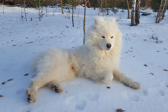 Giving This To Your Samoyed Daily Could Help Alleviate Painful Skin Allergies