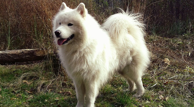Improve Your Samoyed's Skin & Coat With This One Simple Hack