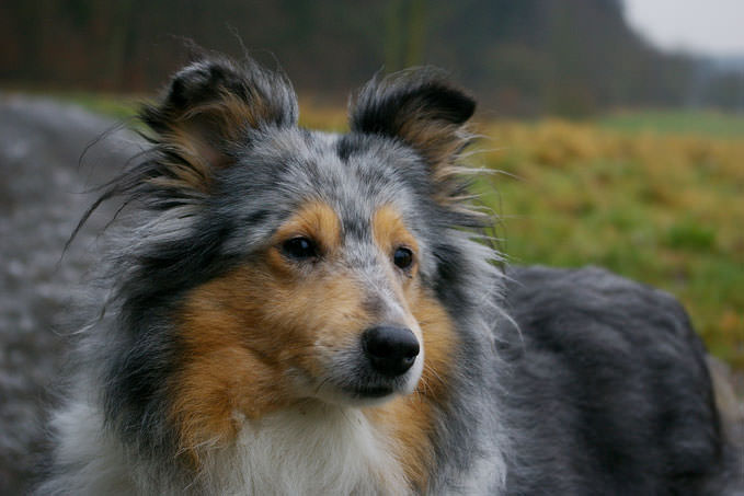 giving this to your sheltie daily could help alleviate painful skin
