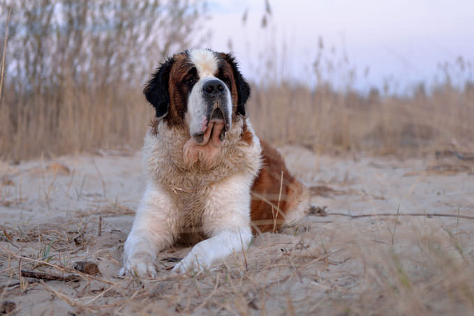 Giving This To Your St Bernard Daily Could Help Alleviate Painful Skin Allergies