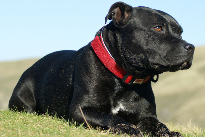 Giving This To Your Staffordshire Bull Terrier Daily Could Help Alleviate Painful Skin Allergies