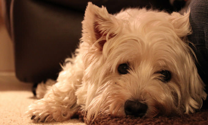 3 Amazing Ways To Honor A Westie Who Passed Away