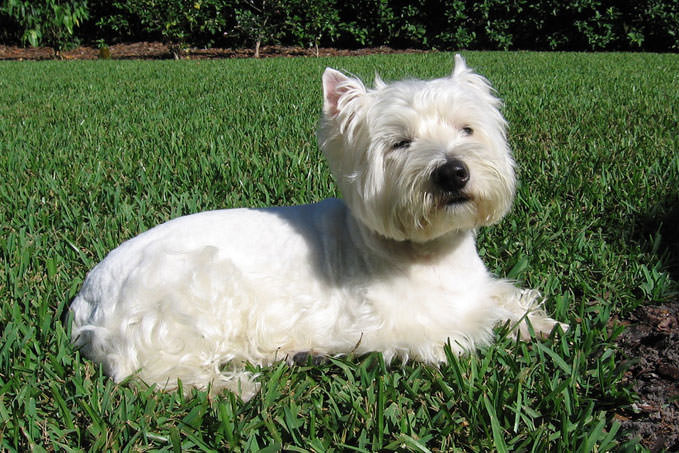 Giving This To Your Westie Daily Could Help Alleviate Painful Skin Allergies