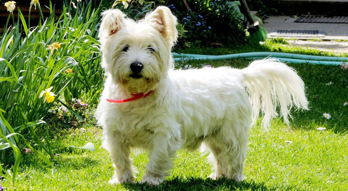 Improve Your Westie's Skin & Coat With This One Simple Hack