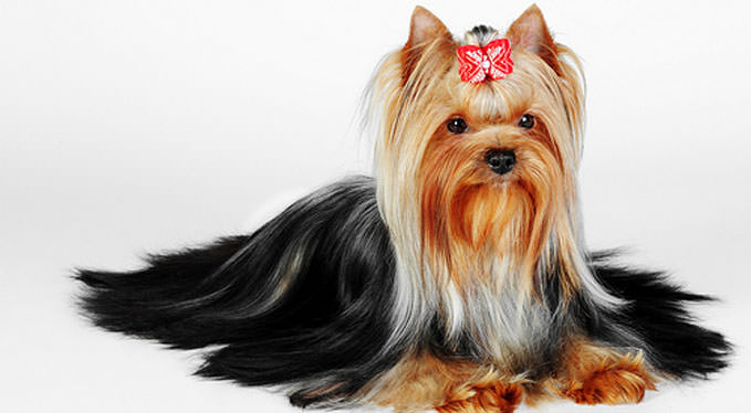 Improve Your Yorkie's Skin & Coat With This One Simple Hack