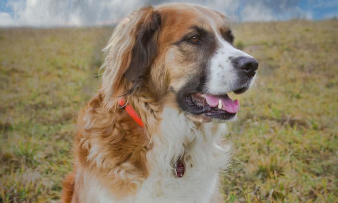 3 Amazing Ways To Honor An Australian Shepherd Who Passed Away