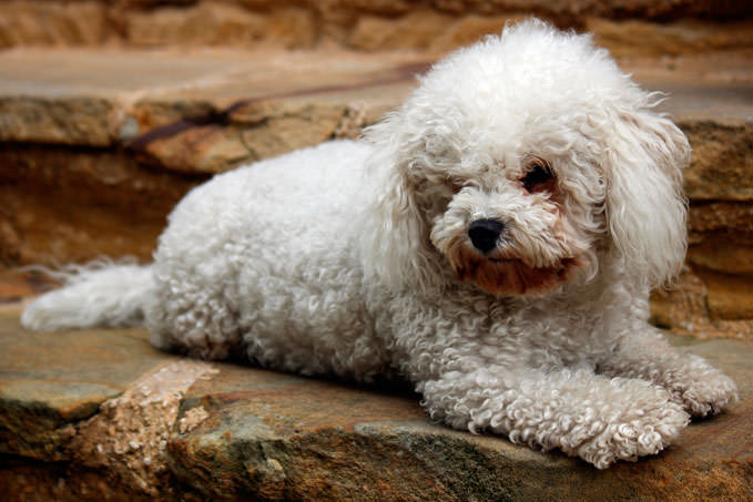 Giving This To Your Bichon Frise Daily Could Help Alleviate Painful Skin Allergies