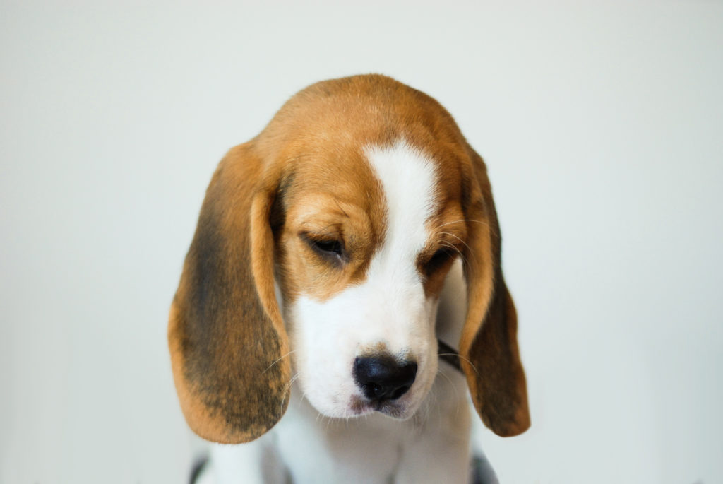 The 3 Most Common Causes For Ear Infections In Dogs