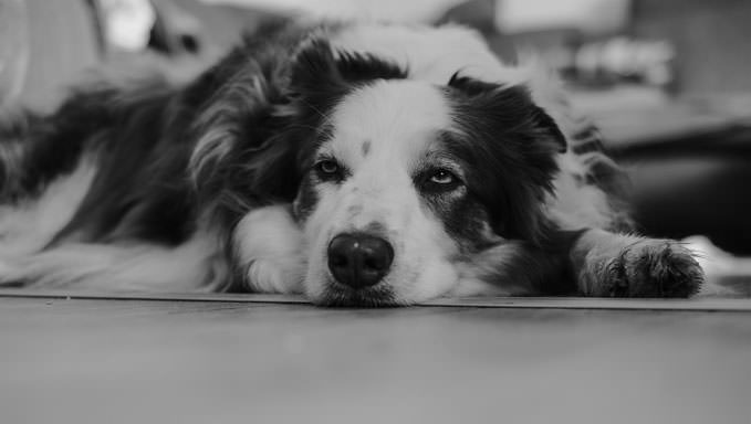 10 Natural Ways To Relieve Your Border Collie's Joint Pain