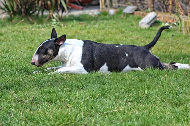 3 Ways To Keep Your Bull Terrier Happy And Healthy