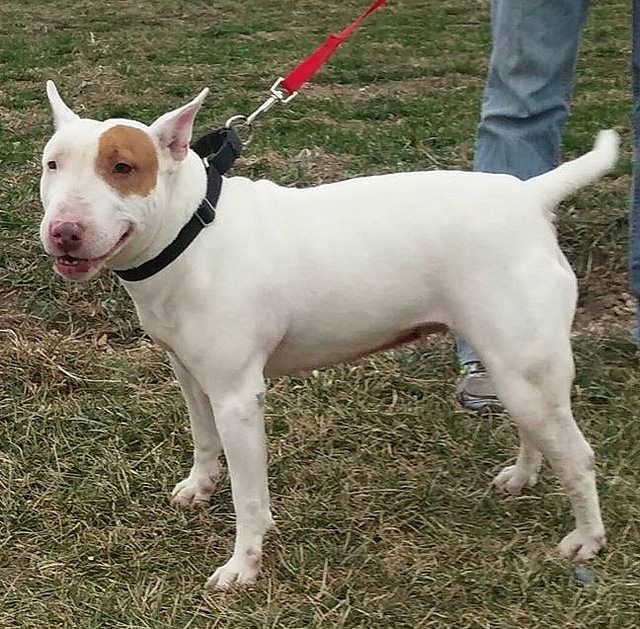5 Tips To Prevent Your Bull Terrier From Pulling On The Leash