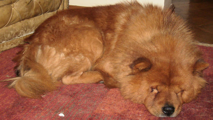 10 Natural Ways To Relieve Your Chow Chow's Joint Pain