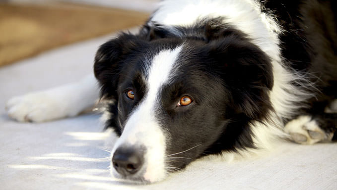 10 Natural Ways To Relieve Your Collie's Joint Pain