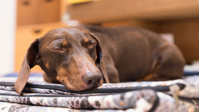 10 Natural Ways To Relieve Your Dachshund's Joint Pain