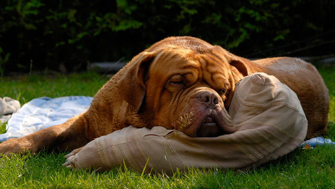 10 Natural Ways To Relieve Your Dogue De Bordeaux's Joint Pain